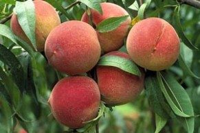 The Elberta Peach revolutionized the industry