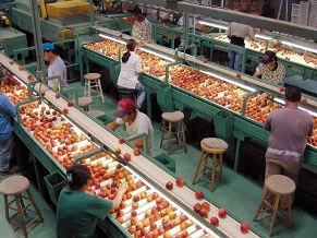 Modern packing methods move peaches quickly from field to market