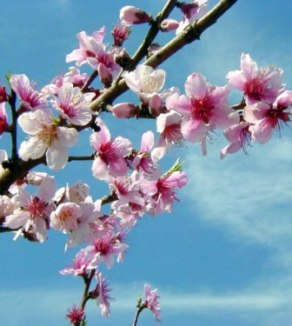 Peach blossoms are a sight to behold in spring